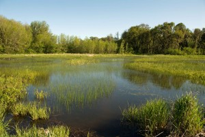 Beautiful_landscape_of_green_swamp_with_calm_waters
