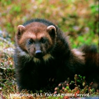 wolverine-feature-photo